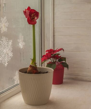 Blooming dark pink hippeastrum (amaryllis) and  poinsettia on a winter window on Christmas Eve