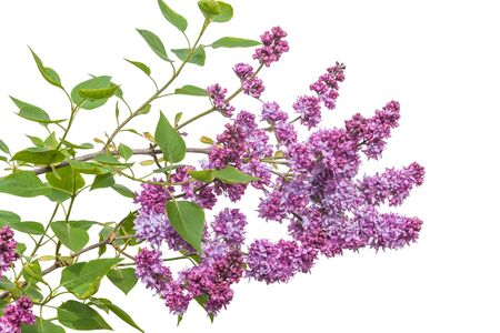 Branch blossoming double purple lilac on a white background isolated