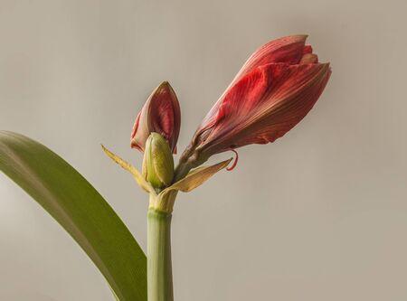 Bud red Hippeastrum (amaryllis)