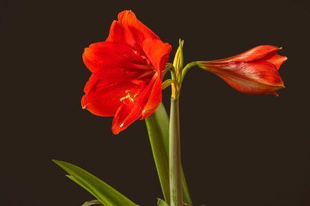 Blooming Red Hippeastrum (amaryllis)