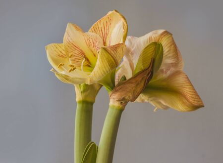 Flowering creamy and red hippeastrum (amaryllis) Princes Claire   on grey background.