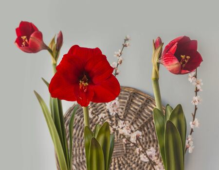 Burgundy red hippeastrum (amaryllis) with flowering apricot branches on a gray background Banco de Imagens
