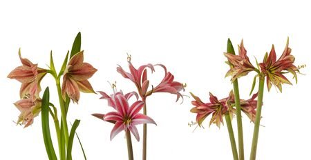 Set of Amaryllis (Hippeastrum)  Butterfly Group