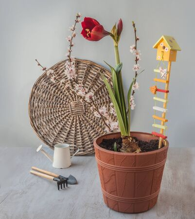 Flowering dark red hippeastrum (amaryllis) with garden decor and flowering apricot branches on grey background. Spring concept.