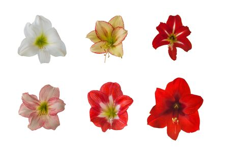 Blooming Hippeastrum (amaryllis)  Sonatina and Colibri Grp  on a white background isolated.