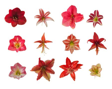 Set of red, striped, double, pink flowers of hippeastrum (amaryllis) on a white background. Isolated