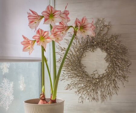 Flower Hippeastrum (amaryllis) Diamond Group