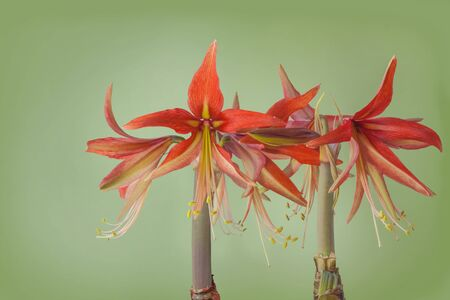 Flower pink and red Hippeastrum (Spider Group) 'Sumatra' on green  background Banco de Imagens