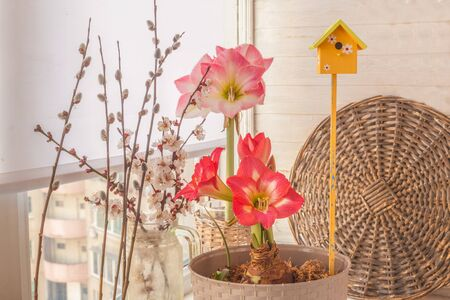 Flowering hippeastrum (amaryllis)
