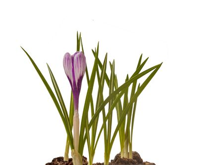 White crocus flower with purple stripes on a white background. Isolated