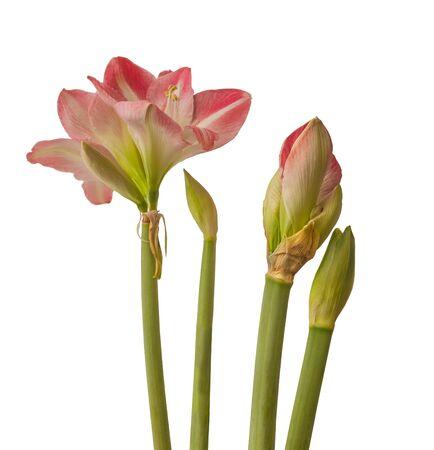 Close up of   emerging bud of Hippeastrum (amaryllis) Large-flowering