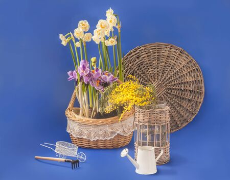Basket with flowering double daffodils and striped crocuses on a blue background. Background for congratulations on spring holidays.