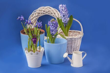 Blooming crocuses, hyacinths and iridodictyum on a blue background. Background for congratulations on spring holidays.