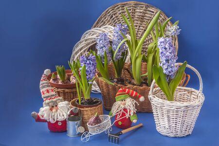 Blooming blue hyacinths