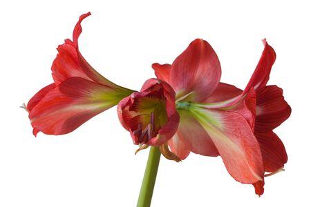Flower Hippeastrum (amaryllis) sonatini 'Eye Catcher' on a white background isolated. Banco de Imagens