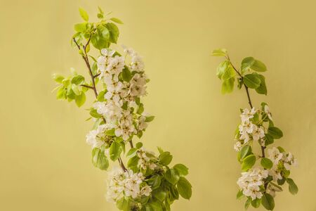 Blooming pear tree branches on a green background