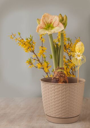 """Concept of spring - blooming hippeastrum (amaryllis) """"Princes Claire"""" next to decorative easter egg (mass production) on background of flowering Forsythia branches. Banque d'images"""