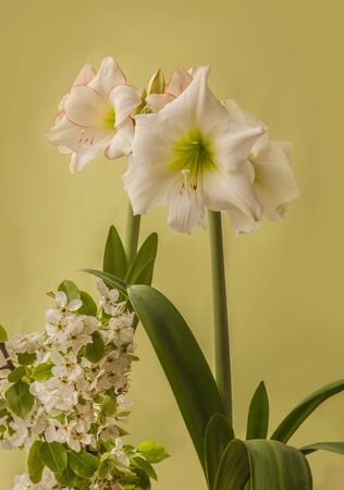 White hippeastrum next to flowering pear branches on a green background Banco de Imagens - 147037834