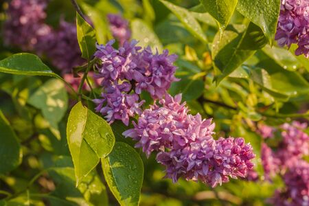 Branch blossoming double purple lilac Banco de Imagens - 147037687