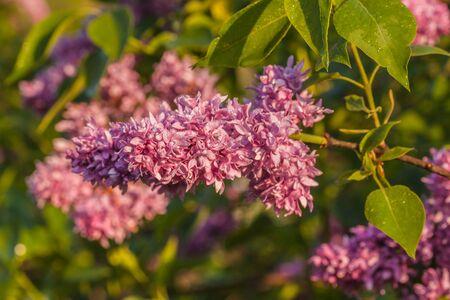 Branch blossoming double purple lilac Banco de Imagens