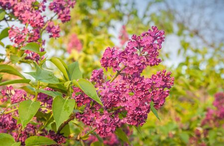 Branch blossoming   purple lilac in sun day on spring. Banco de Imagens