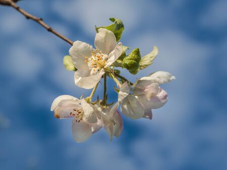 Spring blurred background with blooming apple tree branch. Shallow depth of field. Banco de Imagens - 147037795