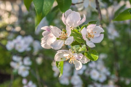 Spring blurred background with blooming apple tree branch. Shallow depth of field. Banco de Imagens - 147037801