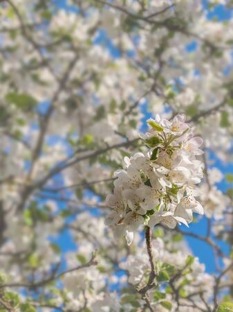 Spring blurred background with blooming apple tree branch. Shallow depth of field. Banco de Imagens - 147039618
