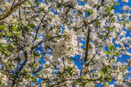 Spring blurred background with blooming apple tree branch. Shallow depth of field. Banco de Imagens - 147037844