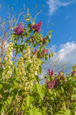 Blooming dark purple and  white double  lilac   inflorescences against the sky in spring