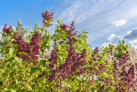 Blooming dark purple lilac inflorescences against the sky in spring Banco de Imagens - 147037659