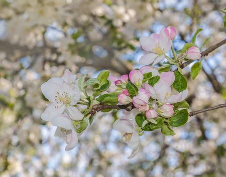 Spring blurred background with blooming apple tree branch. Shallow depth of field. Banco de Imagens