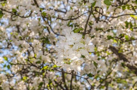 Flowering pear tree on a sunny day in spring. Selective focus Banco de Imagens