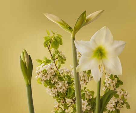Blooming hippeastrum (amarillys)