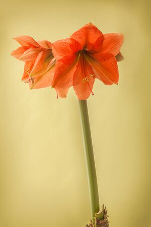 Blooming Amaryllis ( Hippeastrum) Galaxy Group