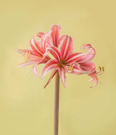 Blooming  Hippeastrum (Amaryllis ) Butterfly Group