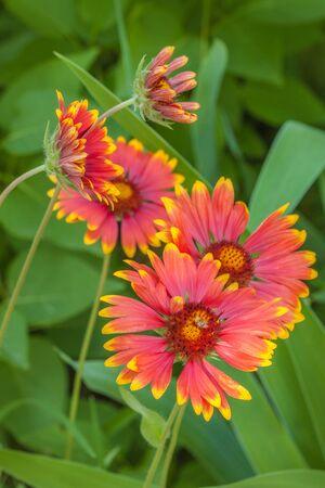 Blooming  Helenium  in the summer garden