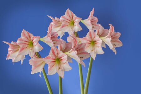 Flower Hippeastrum (amaryllis) Diamond Group