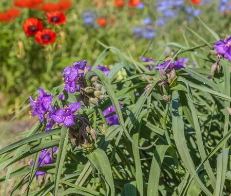 Blue summer flowers of Tradescantia occidentalis (Spiderwort) and Papaver orientale (Oriental poppy) and decorative blue Linum perenne (perennial flax,  blue flax or lint) Banco de Imagens - 147442079