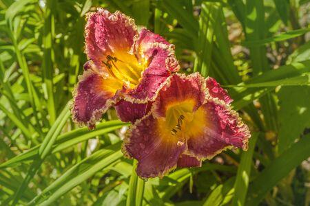 Purple daylily (hemerocallis)