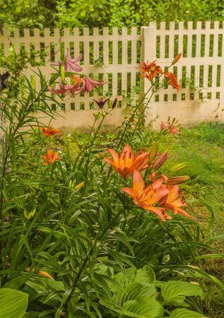 Blooming lilies in the summer garden