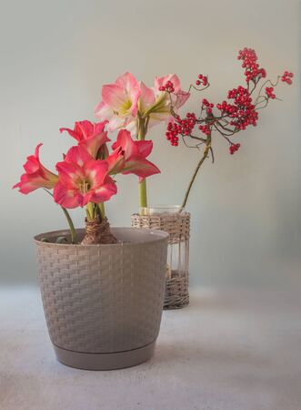 Flowering hippeastrum (amaryllis) Sleeping beauty or Tres Belle and Caprice on a gray background Banco de Imagens