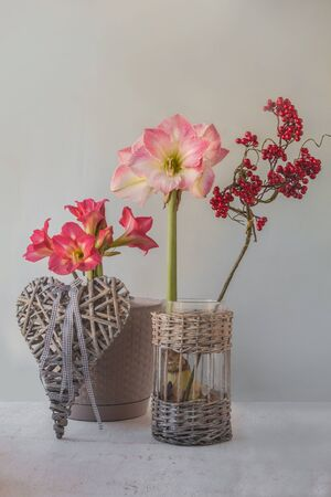 Flowering hippeastrum (amaryllis) Sleeping beauty or Tres Belle and Caprice on a gray background next to a wicker vintage heart Banco de Imagens - 147442101