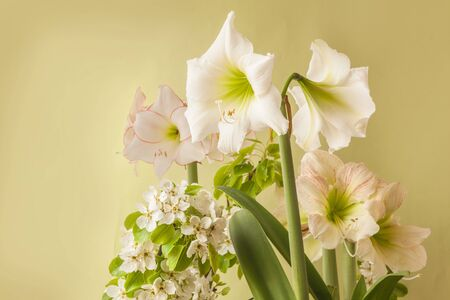 Three flowering white hippeastrum (amaryllis)  of  varieties Picotee, Lemon Star and Princes Claire on a green background