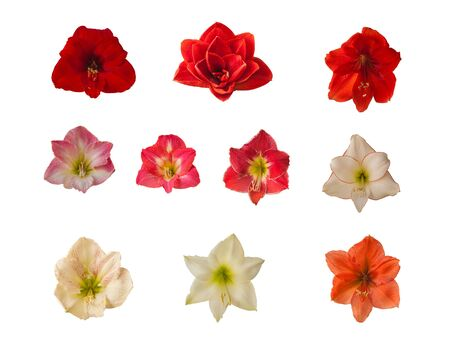 Set of flowers of hippeastrum (amaryllis) on a white background. Banque d'images