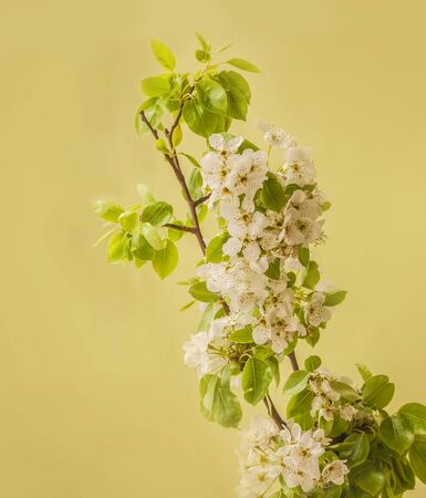 Blooming pear tree branches on a green background Banco de Imagens - 147564866