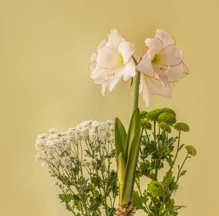 """Blooming white and red hippeastrum (amarillys) Diamond Group """"Picotee"""" and small-flowered chrysanthemum on a green background"""