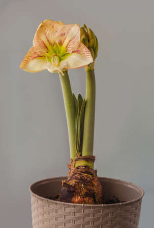 Flowering creamy and red hippeastrum (amaryllis) Galaxy Group Princes Claire in plastic pot on gray background.