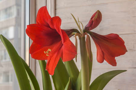 Blooming red hippeastrum on the window.