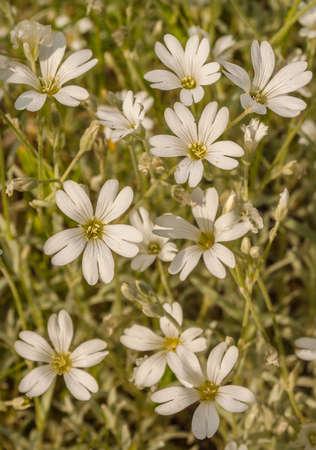 White flowers Cerastium biebersteinii close-up in garden